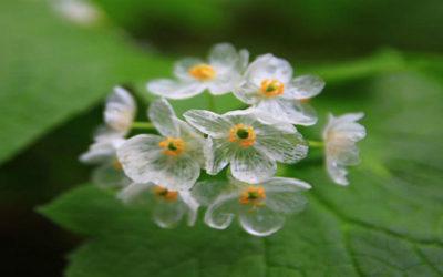 Un fiore trasparente quando piove: la Diphelleia Grayi