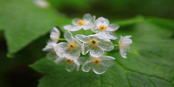Photo of Un fiore trasparente quando piove: la Diphelleia Grayi