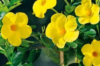 Dipladenia: un'altra pianta rampicante sempreverde da conoscere