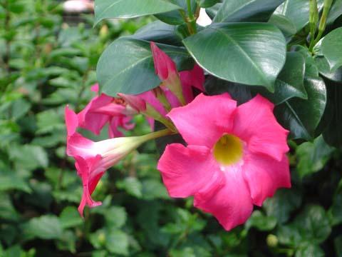 Dipladenia come coltivare e curare questa pianta for Dipladenia malattie