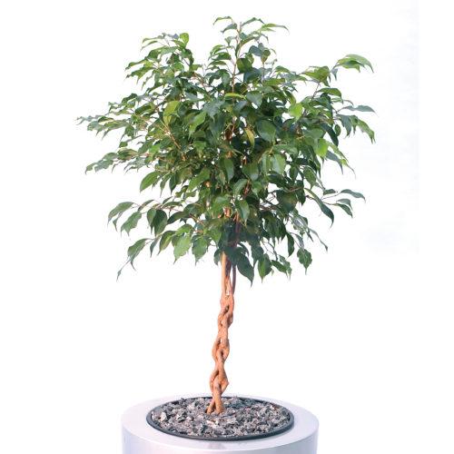Ficus Benjamin coltivazione