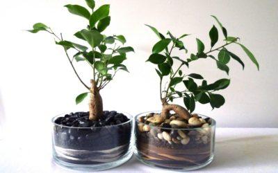 Ficus benjamin e altre varietà: cura di questa pianta tropicale