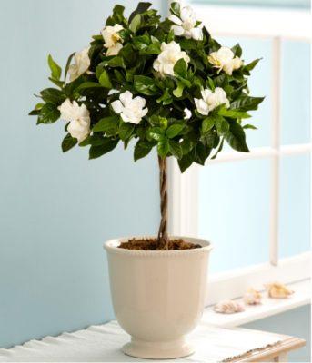 Gardenia come curare e coltivarla al meglio questa pianta for Piante da frutta nane prezzi