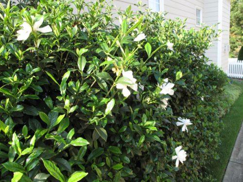 Gardenia come curare e coltivarla al meglio questa pianta - Gardenia pianta da giardino ...