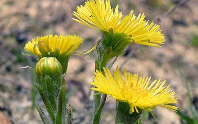 Tussilago farfara: proprietà della pianta