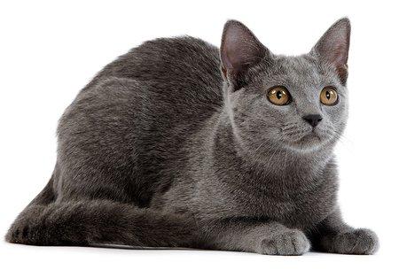 Photo of Tutte le razze di gatti più belle