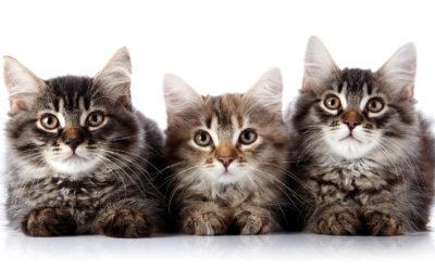 Tutte le razze di gatti più belle