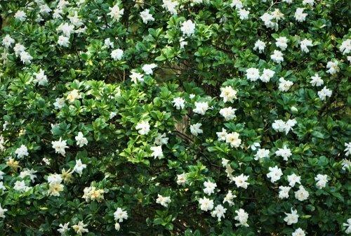 gardenia in giardino