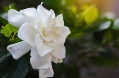 Scopriamo come curare e coltivare la gardenia a terra o in vaso
