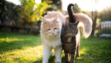 Photo of Quali sono le razze di gatti domestici da conoscere?