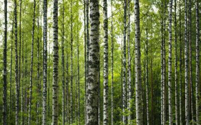 Betulla: tutti i benefici e le proprietà di questa pianta