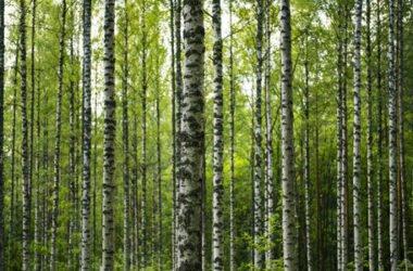 Tutti i segreti della betulla, pianta perenne molto apprezzata in erboristeria