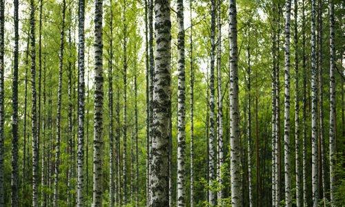 Photo of Tutti i segreti della betulla, pianta perenne molto apprezzata in erboristeria