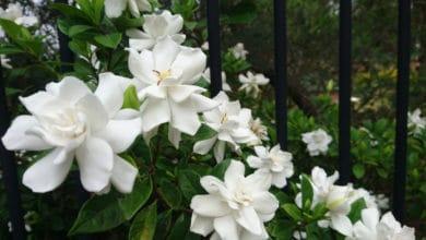 Photo of Scopriamo come curare e coltivare la gardenia a terra o in vaso