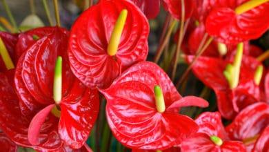 Photo of Come coltivare l'Anthurium: tutti i trucchi e i segreti da conoscere