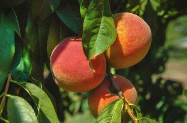 Scopriamo come coltivare alberi da frutto in casa facilmente e con successo