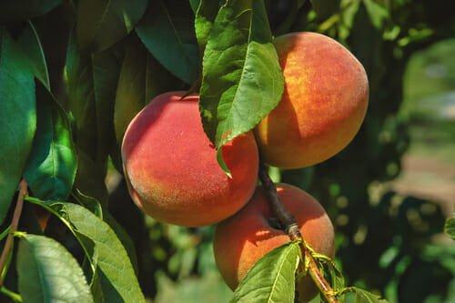 come coltivare alberi da frutto in casa - L'albero del pesco