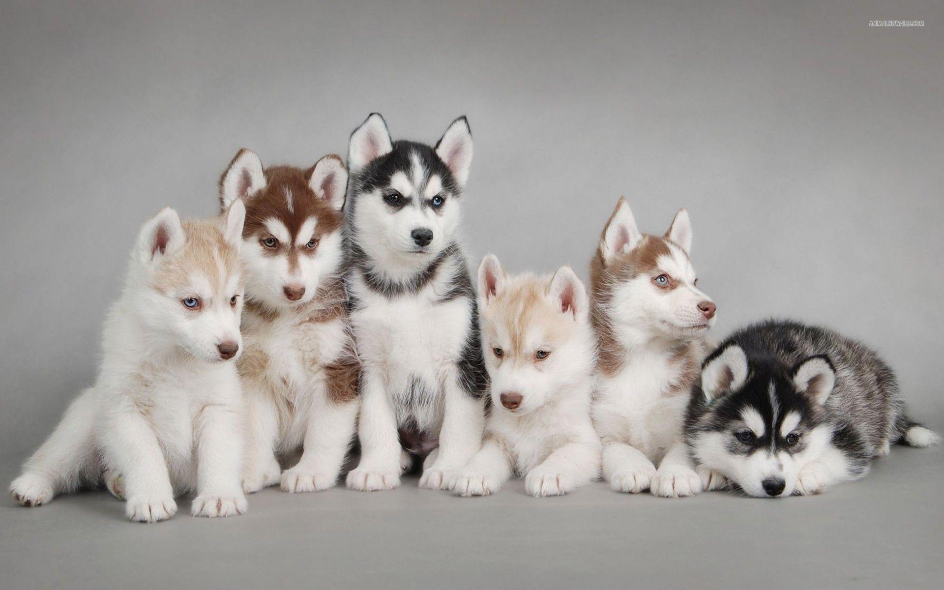 Photo of Husky: aspetto carattere e allevamento del cane delle nevi