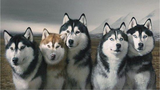 Husky aspetto carattere e allevamento del cane delle nevi tuttogreen - Husky con occhi diversi ...