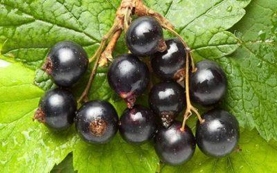 Ribes nero: un antinfiammatorio, antistaminico e antiossidante naturale