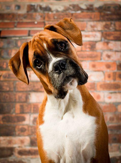 Razze di cani taglia media e grande