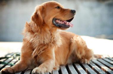 Il Golden Retriever è uno dei cani più popolari al mondo, amatissimo dai bambini, scopriamone il carattere e come allevarlo