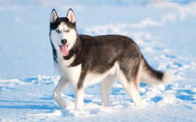 Husky: aspetto carattere e allevamento del cane delle nevi