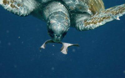 Gli anelli per lattine che non uccidono gli animali marini, ma li nutrono