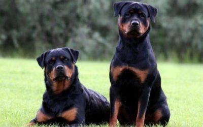 Scopriamo tutte le caratteristiche del Rottweiler, aspetto, carattere ed allevamento