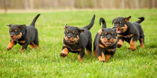 Photo of Scopriamo tutte le caratteristiche del Rottweiler, aspetto, carattere ed allevamento