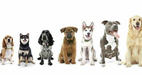 Photo of Cani taglia media: quali sono e per chi sono adatti