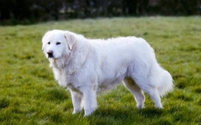Cane pastore maremmano: aspetto, cura e carattere