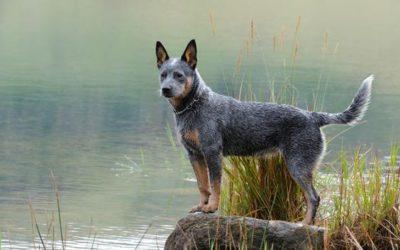 Australian cattle dog, carattere, aspetto e cura