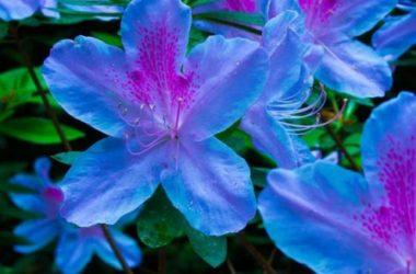 Quello che devi sapere sull'azalea: significato, varietà e come curarla