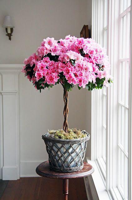 Charming Azalea In Vaso