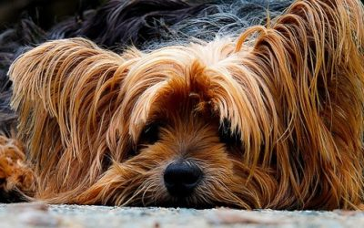 Yorkshire Terrier: carattere, addestramento e cure