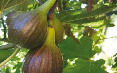 Ficus carica: cos'è e quali benefici apporta