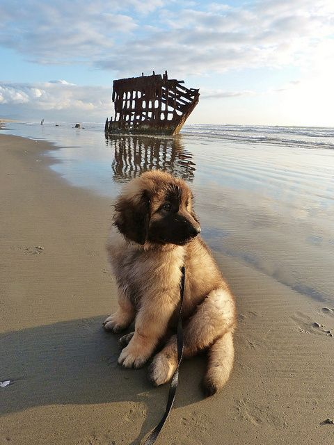 leonberger razza