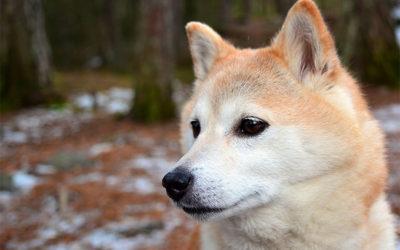 Guida allo Shiba Inu: aspetto, carattere, cura, e prezzo