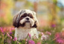 Photo of Scopriamo lo Shih Tzu, la razza canina amata dagli imperatori cinesi