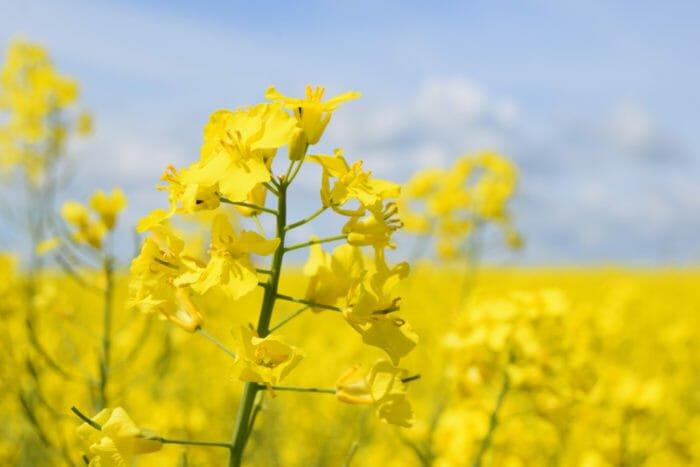 olio di colza la pianta