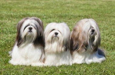 Lhasa Apso, i segreti di quest'altro cane tibetano