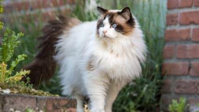 Photo of Tutto quello che c'è da sapere sul gatto Ragdoll
