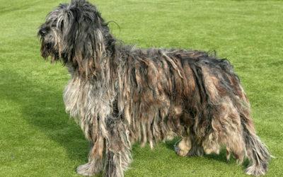 Cane da pastore bergamasco, aspetto, cura e carattere
