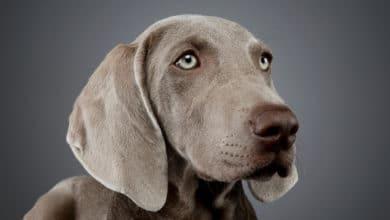 Photo of Weimaraner o bracco di Weimar, uno dei cani più amati, non solo per la sua bellezza elegante