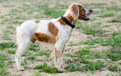 Breton razza cane aspetto carattere prezzo tuttogreen for Setter carattere