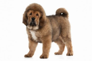 Tutto sul mastino tibetano, il cane da montagna considerato il progenitore di tutti i molossoidi