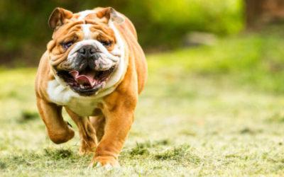 Guida al Bulldog inglese, il carattere, come allevarlo ed addestrarlo, i cuccioli di questo cane affettuoso e amico dei bambini