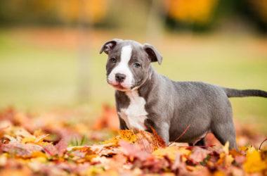 Amstaff o American staffordshire terrier: tutti i segreti di questa razza non sempre conosciuta
