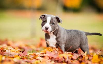 Persone Attaccate Da Pitbull.Amstaff O American Staffordshire Terrier Le Cose Da Sapere Tuttogreen